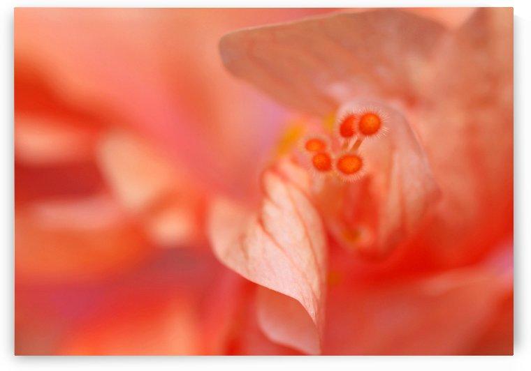 Peach Hibiscus by Deb Oppermann