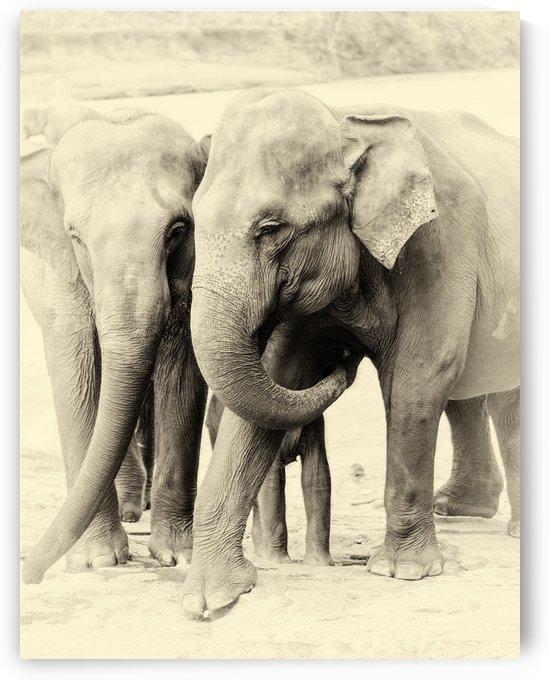 SRI LANKAN ELEPHANTS by ANDREW LEVER GALLERY