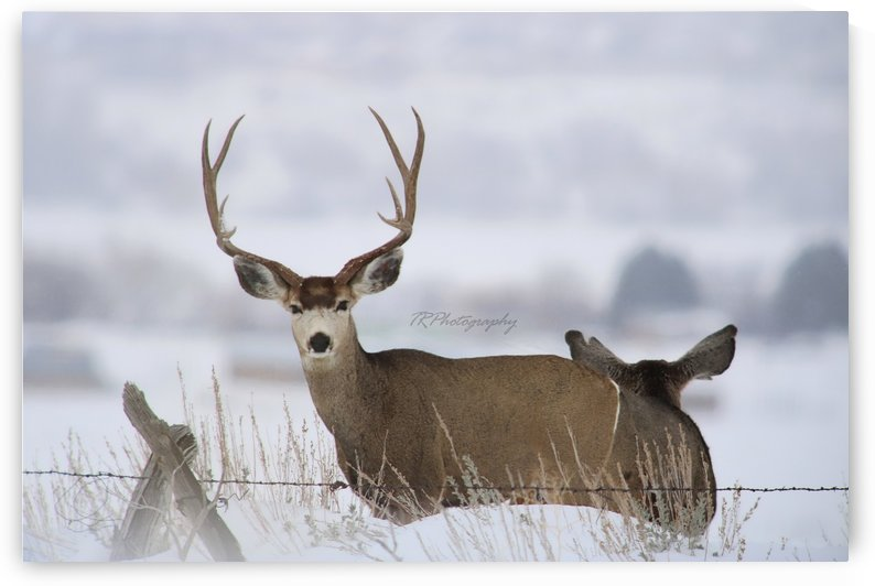 deer by TRPhotography