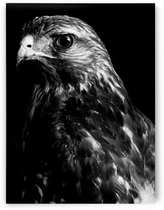 Hawk by PhotomePrints
