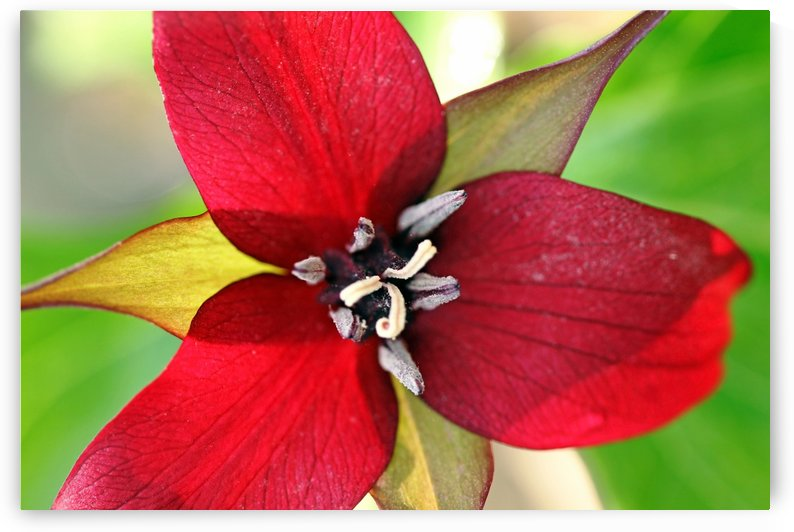 Dark Red Trillium by Deb Oppermann