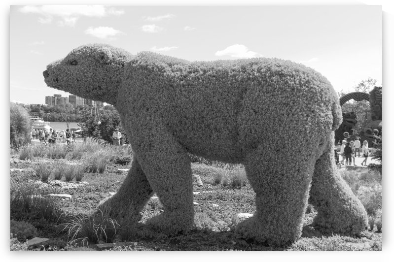 Manitoba entry: The polar Bear b&w by Bob Corson