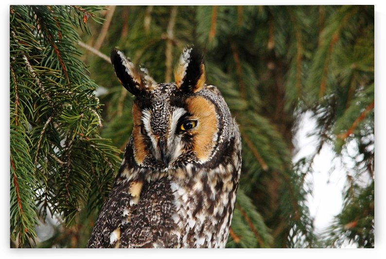Vigilant Long Eared Owl by Deb Oppermann