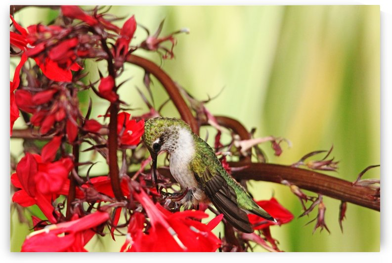 Hummingbird Giving Thanks by Deb Oppermann