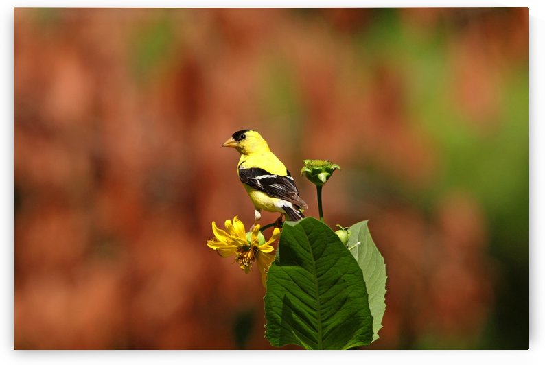 Goldfinch On Cup Plant by Deb Oppermann
