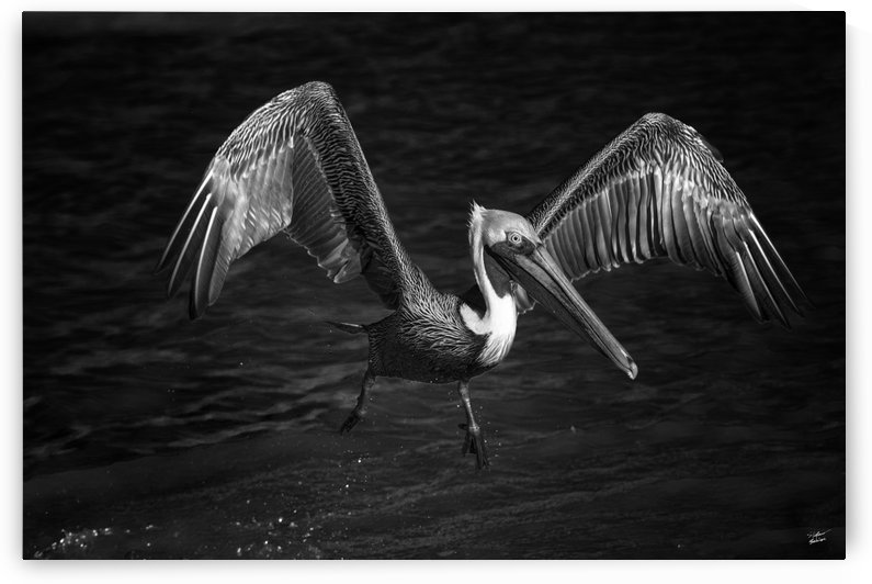 Lone Pelican in flight - black and white by Stefano Senise Photography
