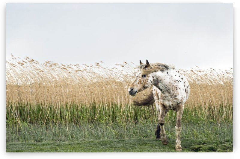 APPALOOSA HORSE by ANDREW LEVER GALLERY