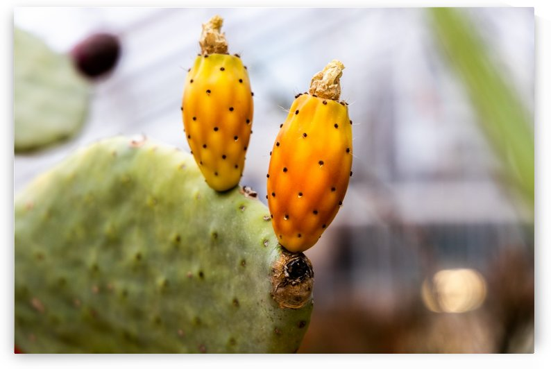 Cactus fruit by Per-Anders Gunnarsson