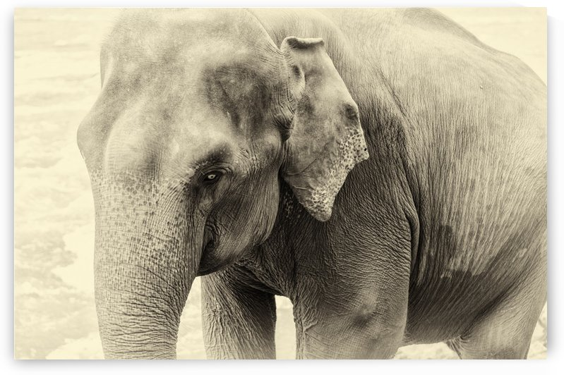 Asian Elephant by ANDREW LEVER GALLERY