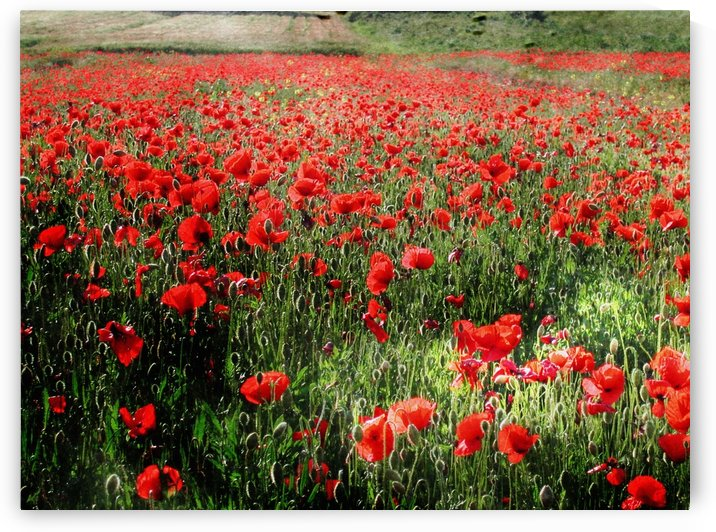 Rolling Fields with Poppies by Dorothy Berry-Lound