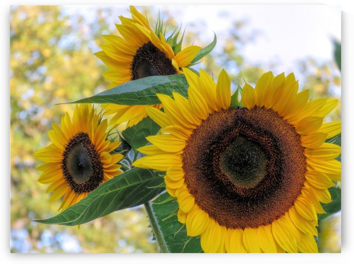Sunflower trio by Photography by Janice Drew