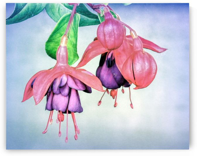 Fuchsia by Photography by Janice Drew