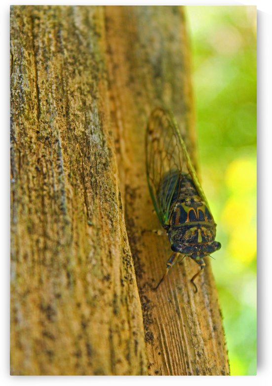 Cicada by Gods Eye Candy