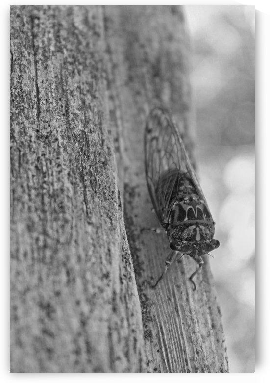 Cicada B&W by Gods Eye Candy