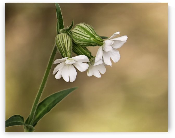 White campion by Photography by Janice Drew