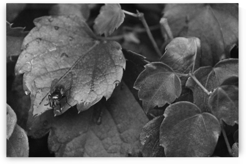 A fly and morning dew B&W by Gods Eye Candy