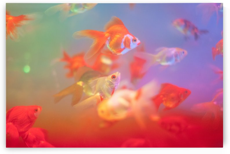 Goldfish by Wander Eddie