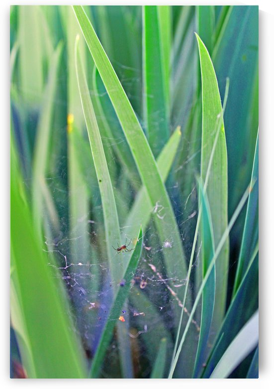 Small Spider and Tall Grass by Gods Eye Candy