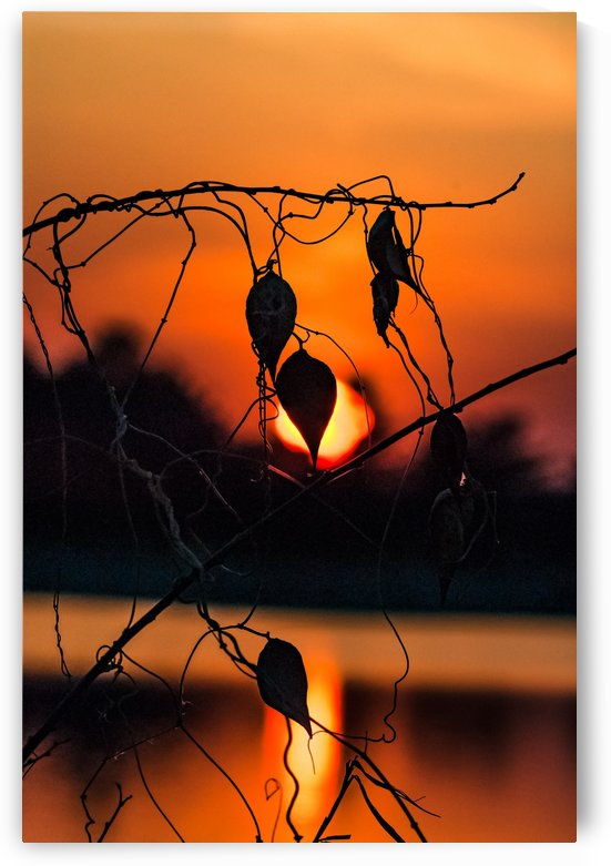 Vine Milkweed at Sunset by Garald Horst