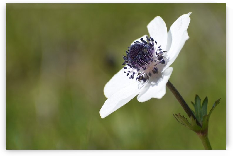 Anemone Flower in the Sunshine by Puzbie