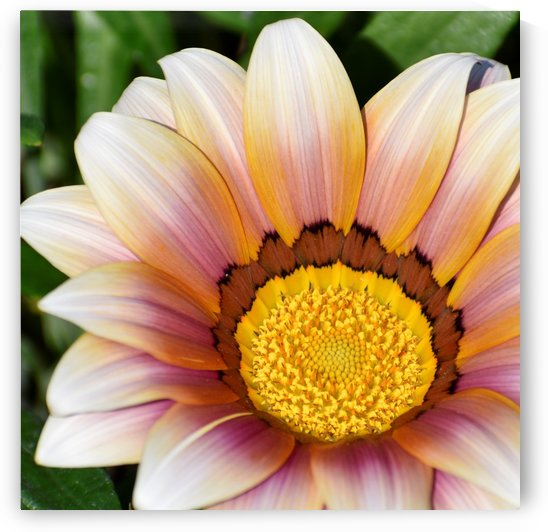 Gazania Daisy Flower - yellow pink and cream by Puzbie