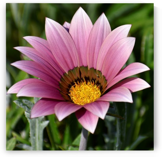Rose Pink Gazania Flower Photograph by Puzbie