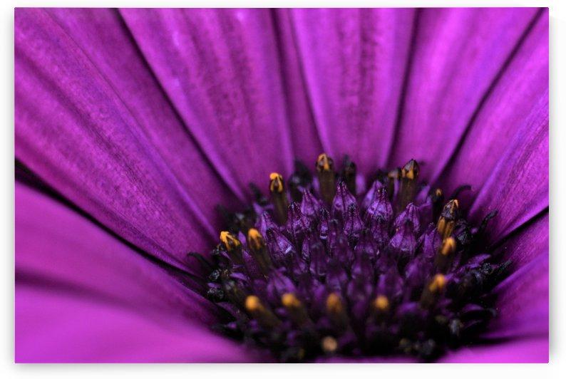 Purple Osteospermum Daisy Photograph Macro by Puzbie