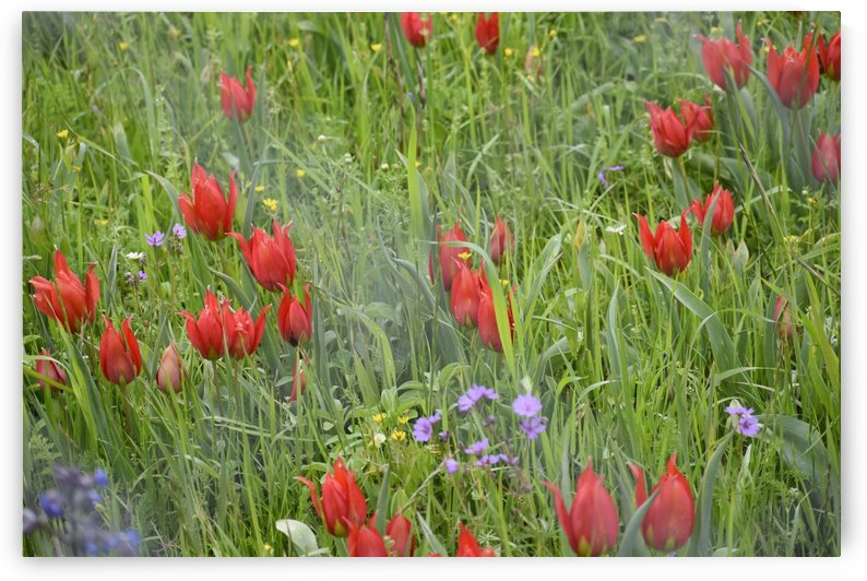 Wild Flowers including Red Tulips by Puzbie