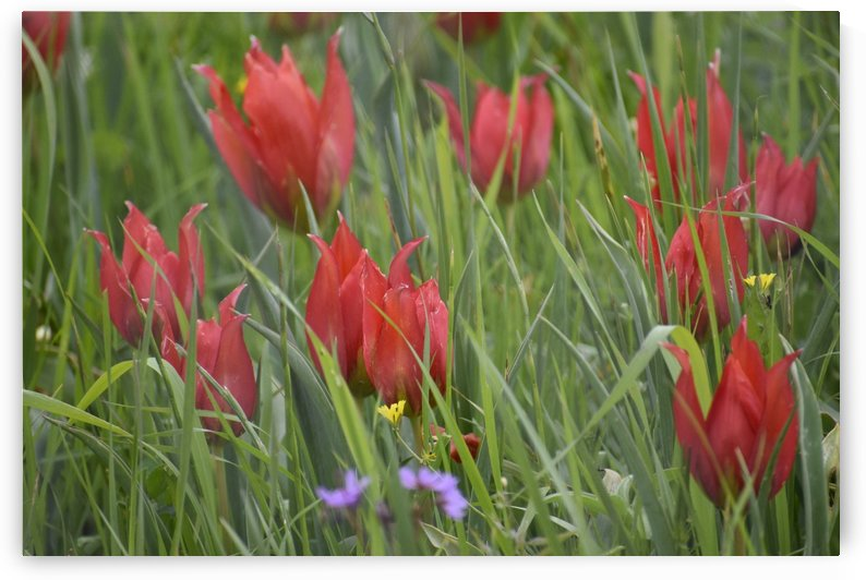 Wild Tulips - Red by Puzbie