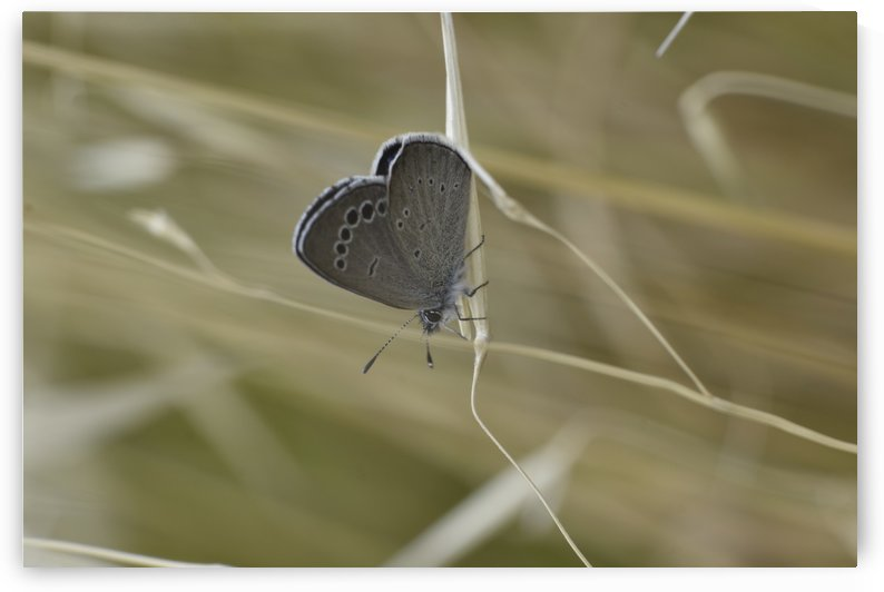 Butterfly at Rest on Grass by Puzbie