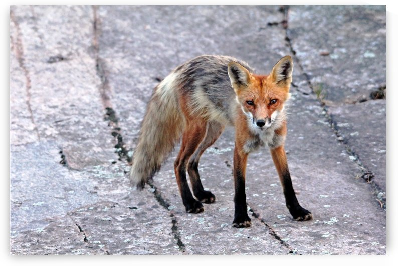 Multi Colored Red Fox by Deb Oppermann