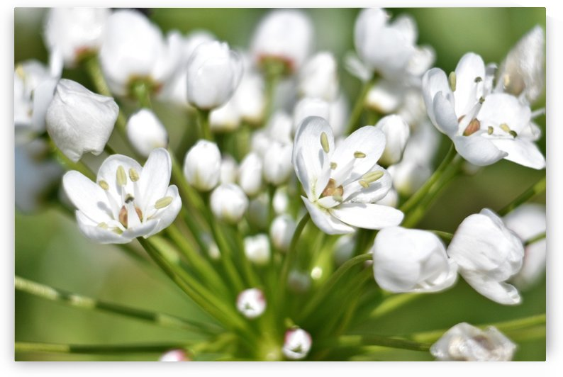Shades of Green and White - Spring Flowers by Puzbie