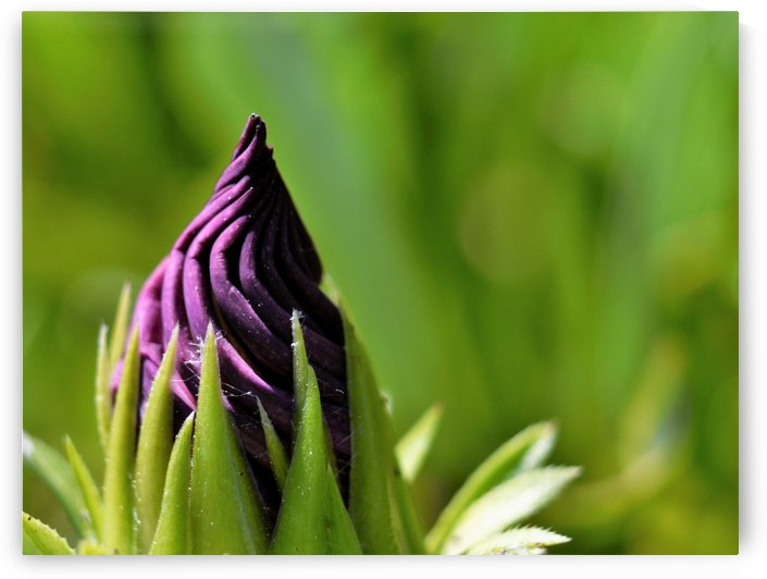 Abstract Purple and Green - Flower bud Macro by Puzbie
