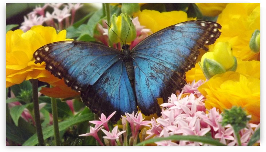Blue Morpho Butterfly on Yellow Flowers by Linda Peglau