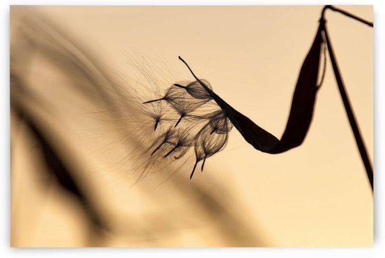 Vine Milkweed Spring Seeding by Garald Horst