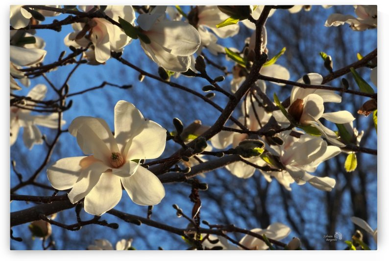 Floraison de Magnolia- Magnolia bloom by Sylvain Bergeron Photographies