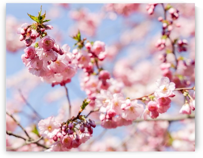 Cherry blossom Red by Per-Anders Gunnarsson