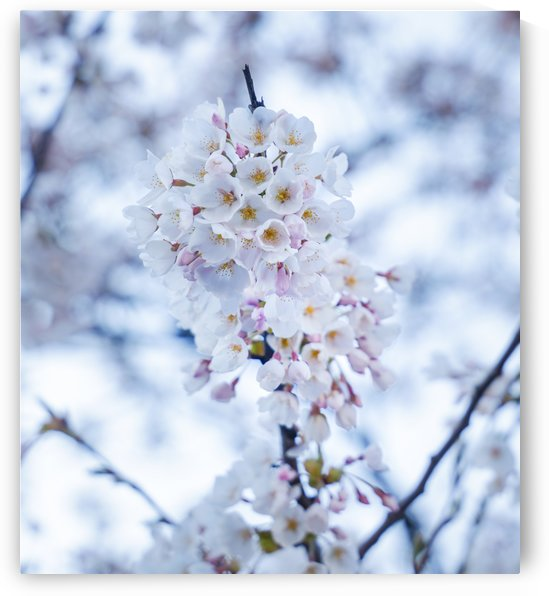 Cherry blossom Blue by Per-Anders Gunnarsson