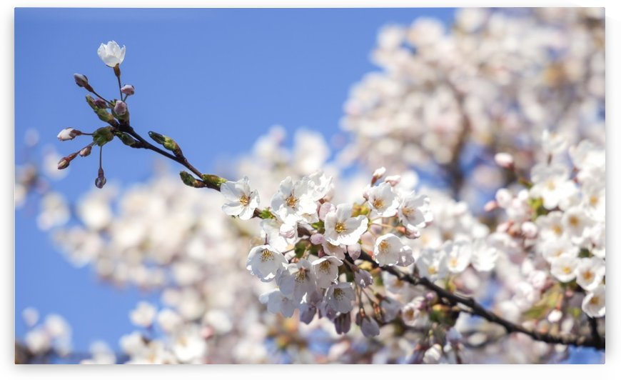 Cherry blossom by Per-Anders Gunnarsson