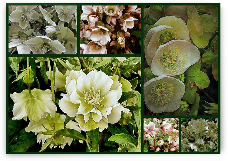 Hellebore Collage by Dorothy Berry-Lound