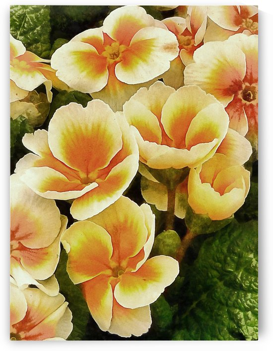 Orange and Peach Primulas by Dorothy Berry-Lound