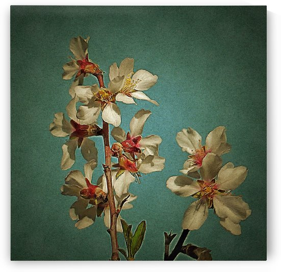Almond Blossom on Blue Background by Dorothy Berry-Lound