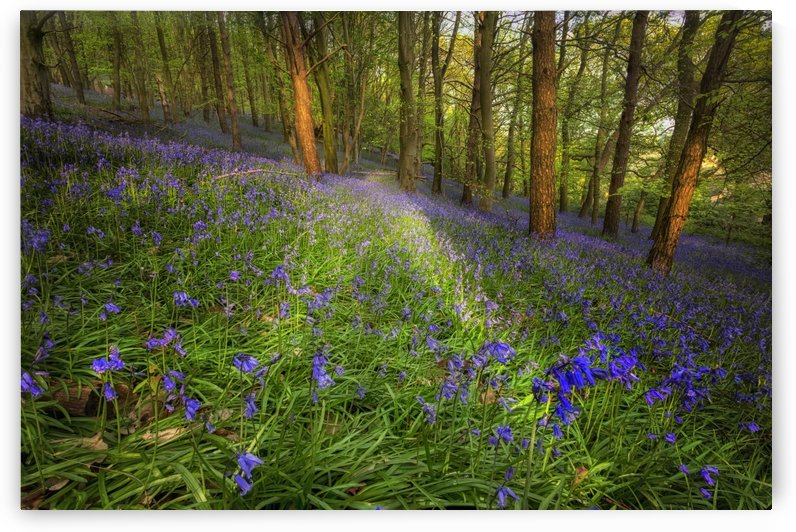 Bluebells in Ten Acre Wood by Leighton Collins