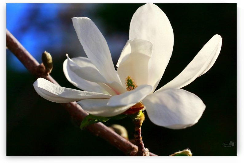 Douce-Petales - Soft Petals by Sylvain Bergeron Photographies