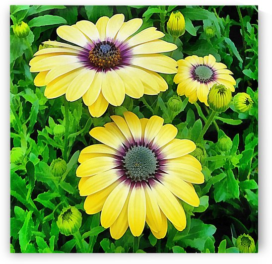 Osteospermum Serenity Blue by Dorothy Berry-Lound