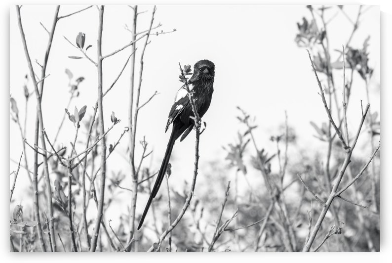 Perching Magpie Shrike by Petrus Bester