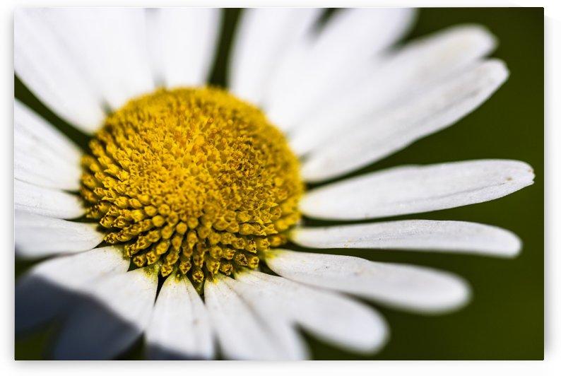 Margaret Flower by Petrus Bester
