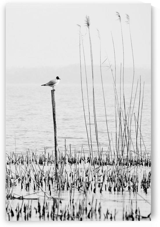 Gull by Luigi Girola