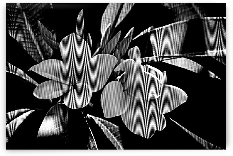 Plumeria In Black And White by HH Photography of Florida