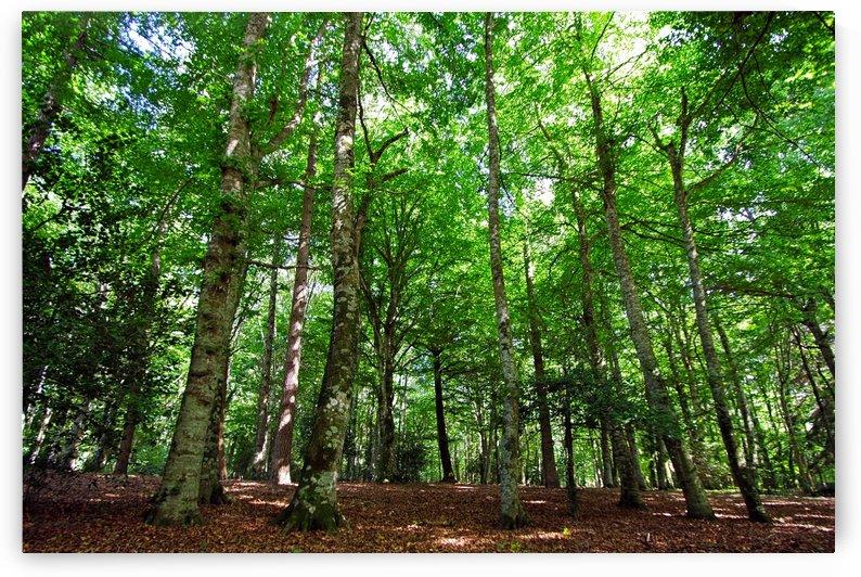 Beech forest by Luigi Girola